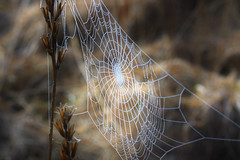 voratinkliai_6872 (migles69) Tags: morning nature spider spring meadow trap fros toils