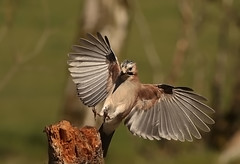 JAY;-8835 (lakelover2012 (TONY COOKNEY).(From Windermere)) Tags: bird nature birds countryside flickr jay britain wildlife flight in