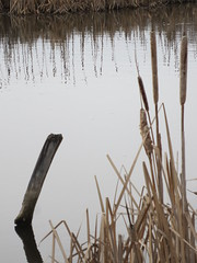 Once part of the delta of Mission Creek (jamica1) Tags: canada reeds bc okanagan columbia british kelowna rushes wetland