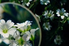 Whites (yuskinkot) Tags: flowers plants white art nature up nikon close f14 sigma 30mm d5200 beyondbokeh