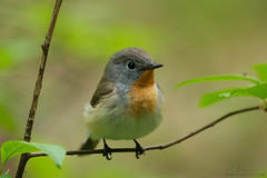Adorable Red-breasted flycatcher (Karl Adami - www.adamifoto.com) Tags: green woodland woods europe estonia small may adorable springtime songbirds 2016 borealforest passeriformes flycatchers perchingbird passerines redbreastedflycatcher ficedulaparva