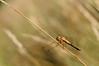 Libellule- Dragonfly (steph_tho) Tags: libellule dragonfly nikon d90nikon 60mmnikkor proxi