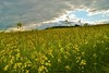 Raps_002 (MK1_PhotographiX) Tags: yellow germany botanical outdoors outdoor sommer natur pflanze feld gelb blume blüte landschaft raps blüten naturelovers gewächse flowerpic happyflowers blütenpracht heimatliebe wiesenundfelder flowersphotography ackersenf flowerspam earthporn gelbesgold deutschlanddubistschön