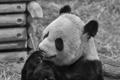 The Panda (Alex Luyckx) Tags: china toronto ontario canada nature animals zoo panda sony creatures torontozoo fotodiox a6000 aisnikkor105mm125 sonya6000