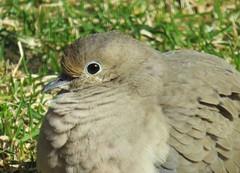 Mourning Dove (joanspictures1) Tags: portrait minnesota canon wildlife powershot mourningdove champlin birdsofminnesota residentbirds