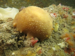Archidoris pseudoargus (roger_forster) Tags: underwater westsussex scuba diving inner nudibranch selsey gastropod mollusc mulberry pagham archidorispseudoargus
