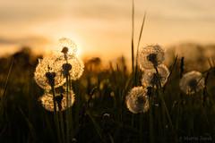 Sunset in the field (Martin Zurek) Tags: sunset portrait orange plant flower color green nature colors field grass backlight zeiss lens landscape dof bokeh dandelion depth hdr ze gegenlicht otus lwenzahn 50mp superlens 5ds otus1485 canon5dsr 5dsr