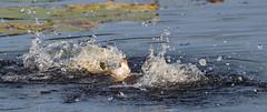 ...making a splash (Cosper Wosper) Tags: water splash westhay