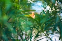 I'll always be here for you (Rana   FotoGraf - Bokeh Queen ) Tags: morning flowers blue light orange plants sunlight plant flower green nature yellow forest garden 50mm morninglight nikon dof bokeh outdoor depthoffield 50mmf18d naturephotography naturegirl nikon50mm18d bokehlicious bokehqueen nikond90 naturebokeh naturecrap bokehmadness bokehobsession