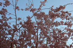 Pink Blossoms (Totally Realistic Visionz) Tags: pink blue sky plants nature natural blossoms blooming