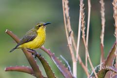 Olive-backed Sunbird (Nectarinia jugularis) (Ian Colley Photography) Tags: bird queensland townsville olivebackedsunbird nectariniajugularis