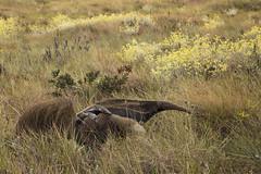 Giant anteater with puppy (Fabio Rage) Tags: parque bandeira giant puppy cub rage fabio da cerrado serra filhote anteater canastra tridactyla tamandua parna myrmecophaga