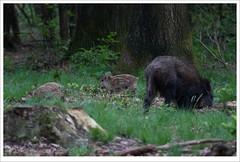 family (erikoo) Tags: wildzwijn wild zwijn boar piglets piglet zwijntjes jongen wildlife