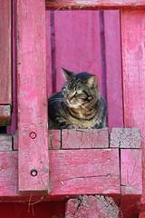 Master of All He Surveys (jmaxtours) Tags: toronto barn cat centreisland torontoontario torontoislands farenoughfarm masterofallhesurveys