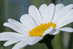 Witte Margriet