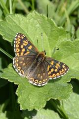 The Duke (Ralph J Clark) Tags: butterfly spring noarhill hampshire dukeofburgundyfritillary sigma105mmf28exdgmacroos