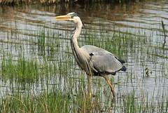 Heron (WhitePointer) Tags: heron leightonmoss rspb