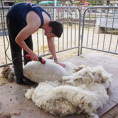 New Fleece (McTumshie) Tags: england london animals unitedkingdom farm fleece shearing cityfarm springfair shear surreydocksfarm oxforddown 14may2016