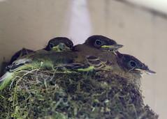 EasternPhoebeNest_53F5524 (~ Michaela Sagatova ~) Tags: easternphoebe nesting flycatcher nestling michaelasagatova