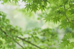 Green dreams (*M.*) Tags: green nature leaves garden spring bokeh depthoffield japanesemaple
