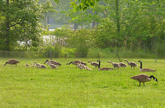 Family Gathering (Alemap.1) Tags: baby lake nature landscape geese goose gosling