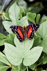 Stratford-Upon-Avon Butterfly Farm (Simon Clare Photography) Tags: macro nature animal butterfly bug insect pattern farm wildlife stratford stratforduponavon buttery butterflyfarm