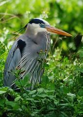 Great Blue Heron Eyes Closed (Susan Roehl) Tags: naplesbotanicalgardens 60acrewildlifereserve naplesfl colliercounty greatblueheron ardeaherodias resting island wetlands shoresofopenwater sueroehl panasonic lumixdmcgh4 bird animal outdoor ngc npc