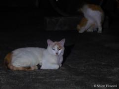 (Shiori Hosomi) Tags: cats june japan night tokyo nocturnal  mammalia felis 2016  carnivora felidae    noctuary    noctivagant  23