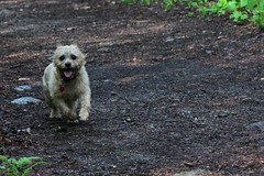 Jeter - 5/23/16 (myvreni) Tags: pets dogs nature animals spring vermont cairnterriers