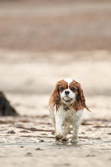 Poppy on the beach (mattgould22) Tags: ocean sea summer dog cute beach wet water animal animals stone outside mammal outdoors sand dof play action sweet bokeh walk adorable running pebble poppy spaniel fetch carry carrying wate wlak