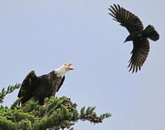 No peace for an eagle (RebelRob) Tags: birds eagle britishcolumbia baldeagle vancouverisland crows birdwatching haliaeetusleucocephalus birdsofprey victoriabc corvusbrachyrhynchos