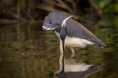 Form And Function (gseloff) Tags: bird texas wildlife pasadena tricoloredheron armandbayou kayakphotography gseloff