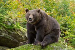 Brown Bear (Rob Christiaans  Nature and Wildlife) Tags: bear autumn fall beer rock forest germany bavaria brownbear wildpark bayerischerwald bruinebeer neuschnau
