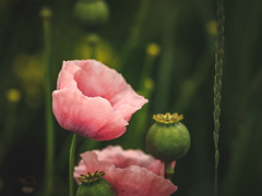 Papaver somniferum (Marc Braner) Tags: flowers flower nature floral beautiful beauty outdoor beaty poppy opium papaver somniferum 500px ifttt