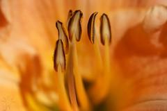 DSC06913 (Shutter_Hand) Tags: usa naturaleza flower macro fleur flora texas sony flor jardin botanico daylily blomma alpha  blume fiore secretgarden iek weatherford  kukka  mineralwells botanicalpark jardinbotnico jardinsecreto parquebotnico a99  clarkgardens lenscraft texasgem texasjewel sonyaf100mmf28macro miguelmendozamuoz sonyalphaa99 slta99
