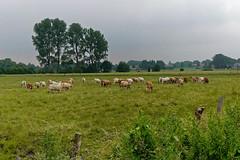 Herdentrieb - 2016 - 0003_Web (berni.radke) Tags: cows bovine khe rinder herde herdinstinct herdentrieb