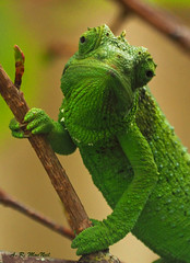 Sigh... Not Another Photographer - Kula, Maui (Barra1man (Very Busy)) Tags: green nature female hawaii unitedstates reptile wildlife olympus maui foliage chameleon kula upcountry jacksonschameleon iso640 f561320 lens300mm agriculturalresearchstation olympusem1