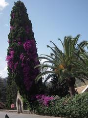 TAORMINE (marsupilami92) Tags: fleur taormina italie palmier le sicile cyprs jettours taormine