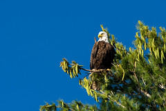 Bald Eagle - Lac du Flambeau, WI (carlos_f_guerra) Tags: lacduflambeau birds eagles bald