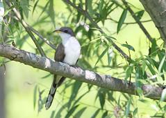 _53F2438YellowBilledCuckoo (~ Michaela Sagatova ~) Tags: yellowbilledcuckoo birdphotography michaelasagatova