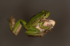 IMG_9300 (2) (Roving_photographer) Tags: newzealand green frog northland kerikeri aurea introduced litoria