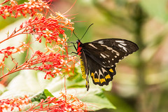 Cairns Birdwing - Female 710_6914.jpg (Mobile Lynn) Tags: wild nature butterfly insects lakebarrine queensland australia au