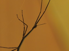 Long-tailed Spider (dayonkaede) Tags: macro nature spider branch olympus f28 mimicry em1 longtailed mc14 m40150mm
