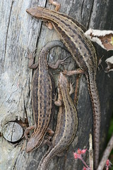 ready to pop (2) - gravid viviparous lizards (Zootoca vivipara) (willjatkins) Tags: macro closeup lizard lizards britishwildlife lacerta viviparouslizard sigma105mm ukwildlife uklizard zootocavivipara zootoca britishreptiles closeupwildlife pregnantanimal macrowildlife hertfordshirewildlife britishlizards britishreptilesandamphibians uklizards britishlizard ukreptiles nikond7100 britishherpetofauna ukamphibiansandreptiles ukreptilesandamphibians britishamphibiansandreptiles hertfordshirereptiles ukherpetofauna lizardsofeurope gravidanimal