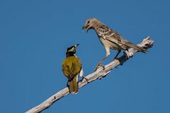Piss Off DSC_8717 (BlueberryAsh) Tags: bird bluefacedhoneyeater katherinegorge topend bowerbird australianbird juvenilebird greatbowerbird birdargument tamron150600 nikon750