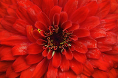 red zinnia (Explored 21-08-2016) (C-Smooth) Tags: flora zinnia floral summer nature macro garden flowers