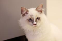 20160809-028 (Snowy Olaf) Tags: kitten britishlonghair       feliscatus  canon 5dmarkiii ef100400mm4556lis f4556