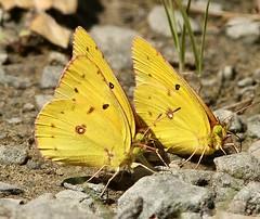 Sl_082916i (Eric C. Reuter) Tags: nature wildlife ny catskills butterflies butterfly insects august 2016 082916 somersetlake hancock peaseddy peaseddyroad orangesulphur