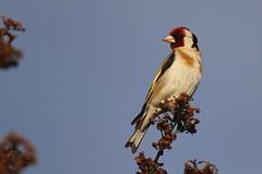 chardonneret lgant. (poun'ish) Tags: chardonneret lgant oiseau jardin nature bird