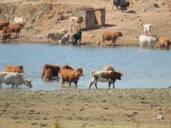 Portugueses (LuPan59) Tags: lupan59 ferias 2016 vero passeios friasdevero2016 passeiosdemota mouro fauna faunafrias2016 mamiferos gado vacas bovinos